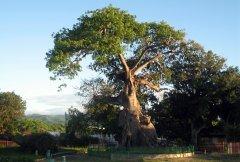 Ceiba de Ponce